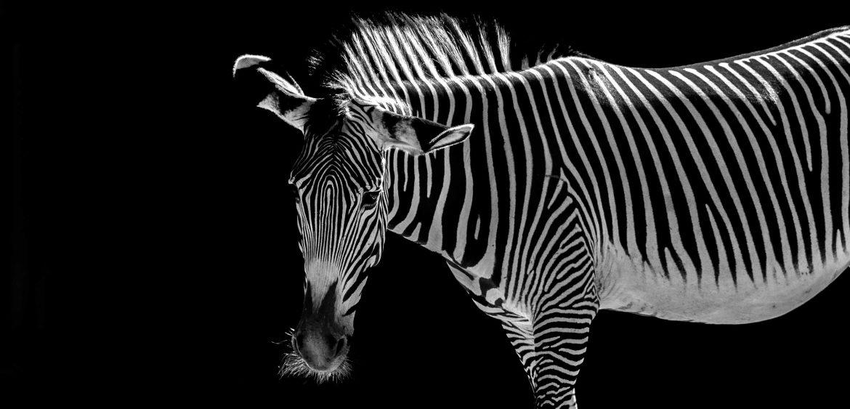 Datum: 2017:07:01 17:05:31 Tiere,animals,Vogel,birds,green,grün,tiger,elephant,giraffe,maus,katze,cat,dog,hund,zoo,storch,affe,gorilla,zaun,fence,gehege,pferd,horse,zebra,kamel,camel,kuh,stier,cow,tierpark,flickr,stern-view,Photography,LRE Photography,laurenc,laurenc riese,Nikon D5,Nikon,www.lriese.ch,lre,lriese,