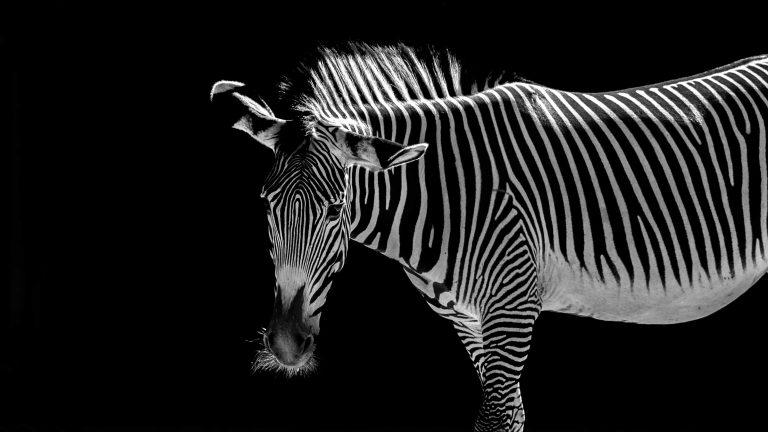 Low-Key Zebra -Hersteller: NIKON CORPORATION | Kamera: NIKON D5 |  | Brennweite: 280mm | Verschlusszeit: 1/2000 | Blende: f/5.6 | ISO: 1600