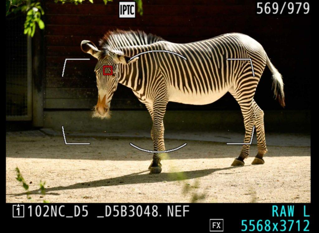 Zebra-Fokus