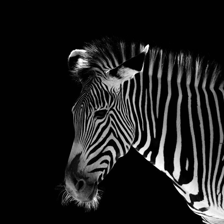 Low-Key Zebra – Hersteller: NIKON CORPORATION | Kamera: NIKON D5 |  | Brennweite: 550mm | Verschlusszeit: 1/2000 | Blende: f/6.3 | ISO: 2000