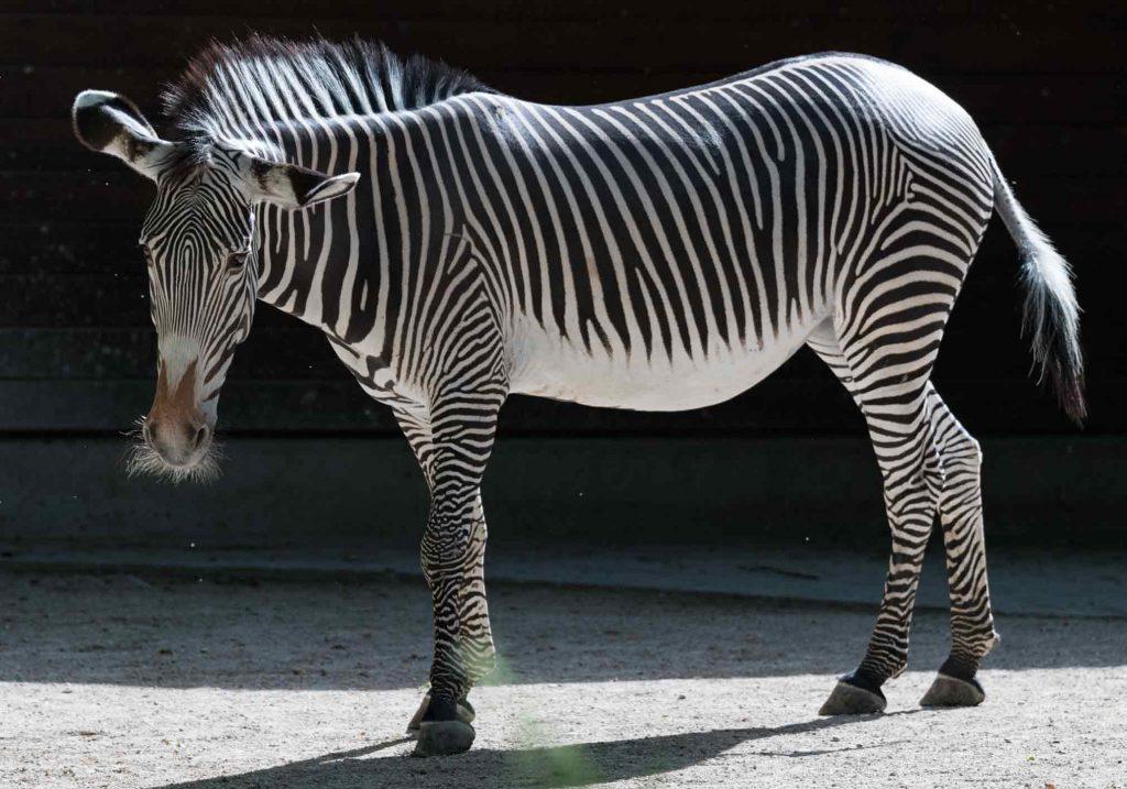 Zebra-Vorlage-unbearbeitet